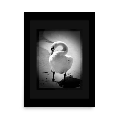 "Photo Art Poster of a proud and On Guard Swan. Protecting its family and posing proudly for my camera. Poster dimensions: 18""x24"""