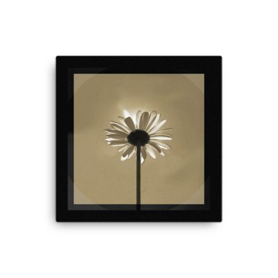 "Photo art on Canvas; Majestic Daisy Sun-bath. Color: new-wheat in black. Original dimensions canvas: 40,64cm x 40,64cm / 16"" x 16""."