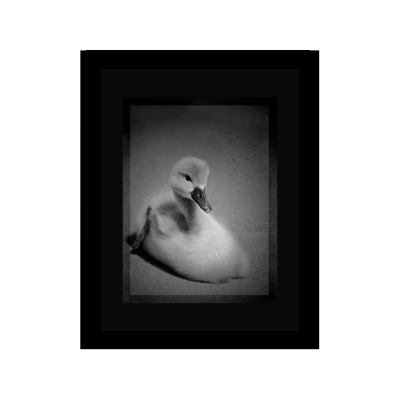 "Grayscale Poster of a cute little duckling swan. Dimensions: 16""x20"""
