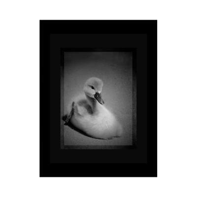 "Grayscale Poster of a cute little duckling swan. Dimensions: 18""x24"""